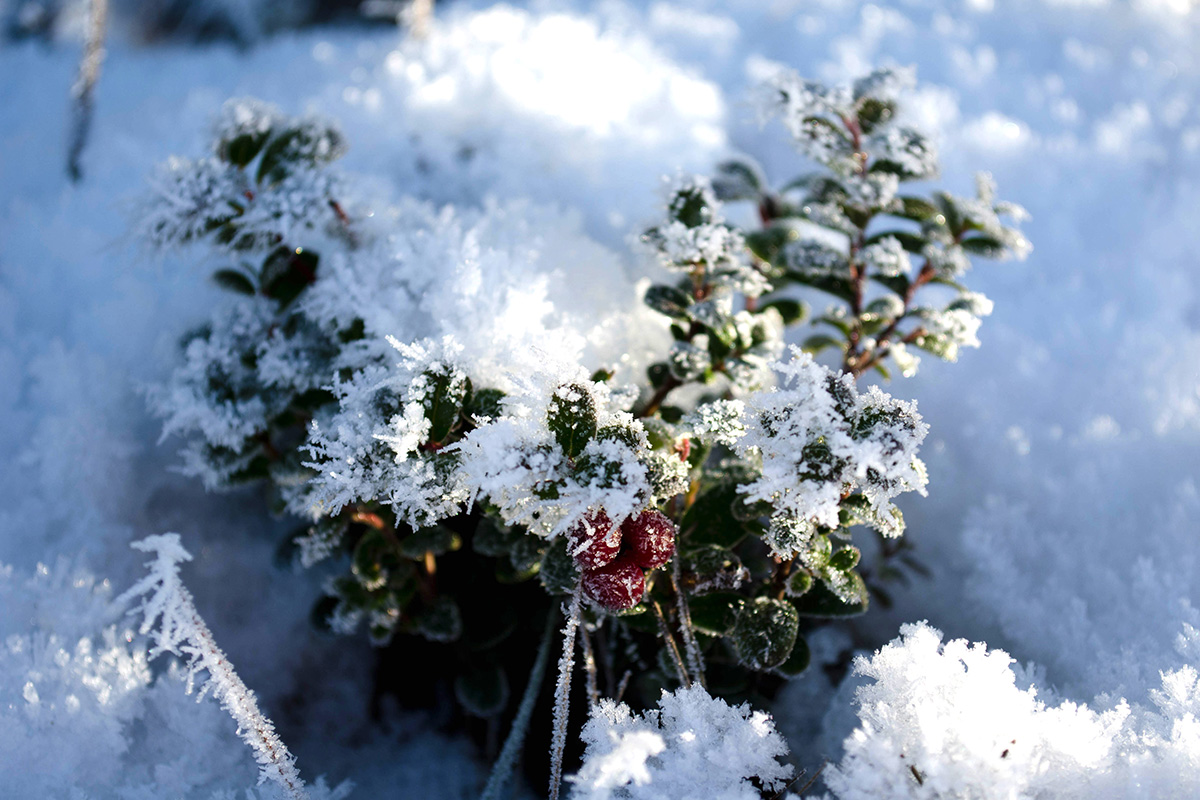 Lingonberries in snow