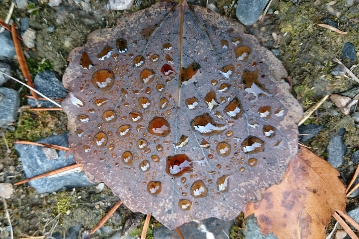 Brown leaf with drops of water