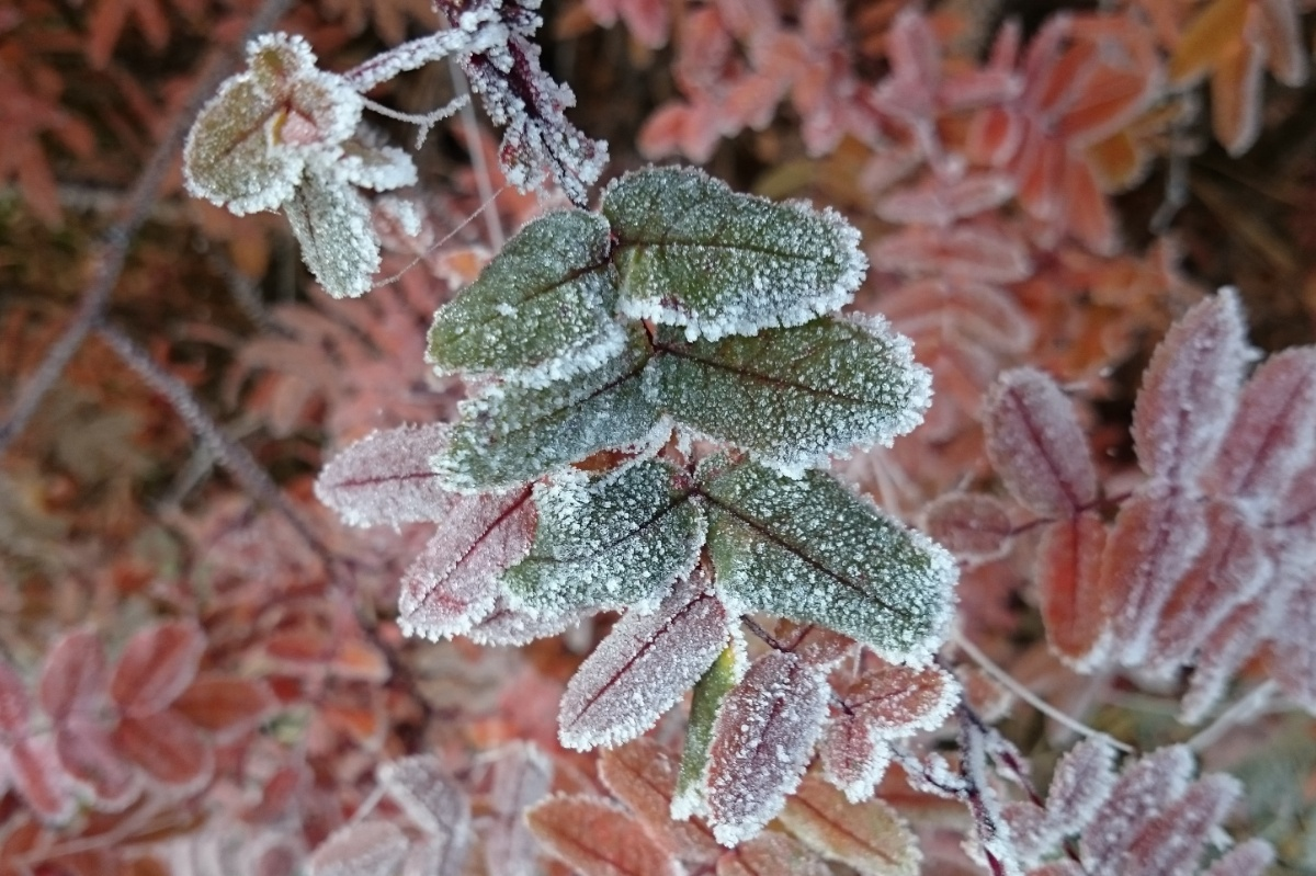 Autumn leafs in frost