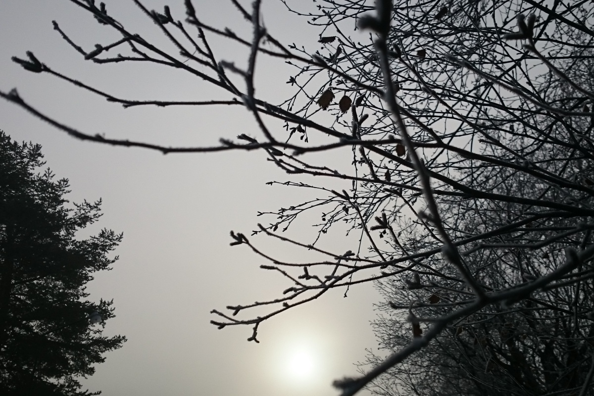 Bare treebranches against grey sky