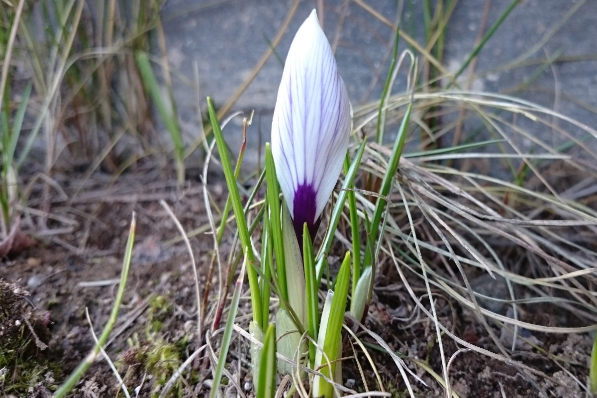 The first crocus this year