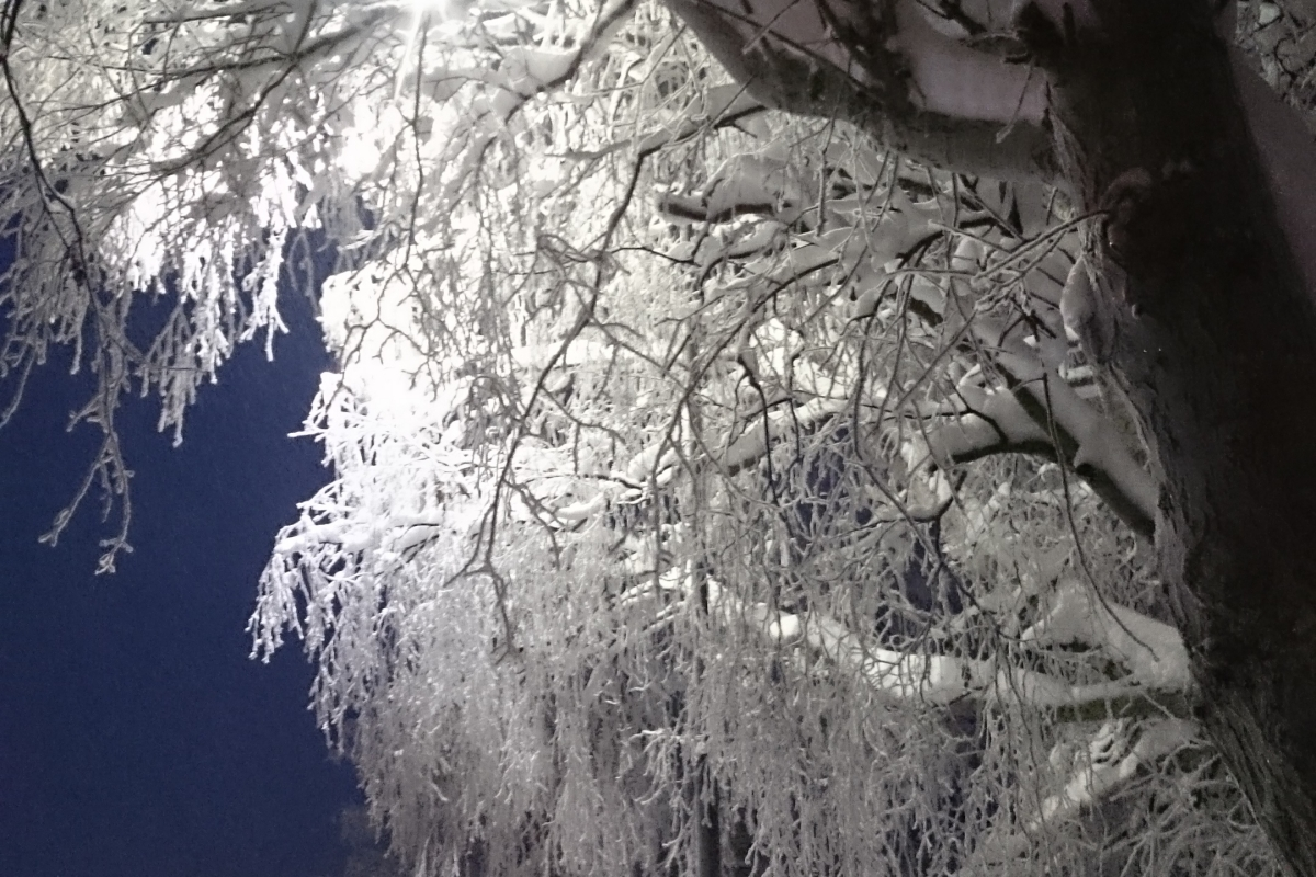 Trees covered in snow, in lamplight